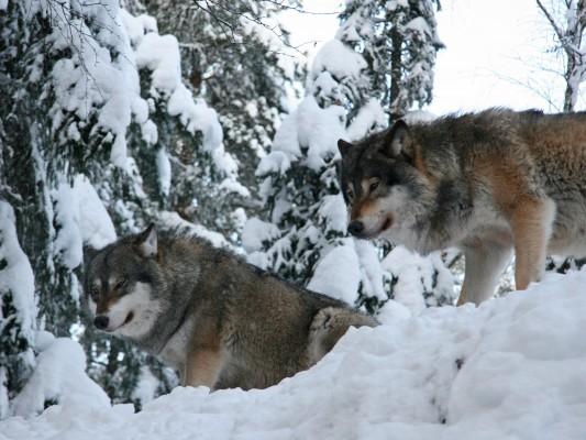 Lillebror_Hammarström_wolves_winter_5848